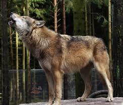 Wölfe … Raubtier oder natürlicher Partner