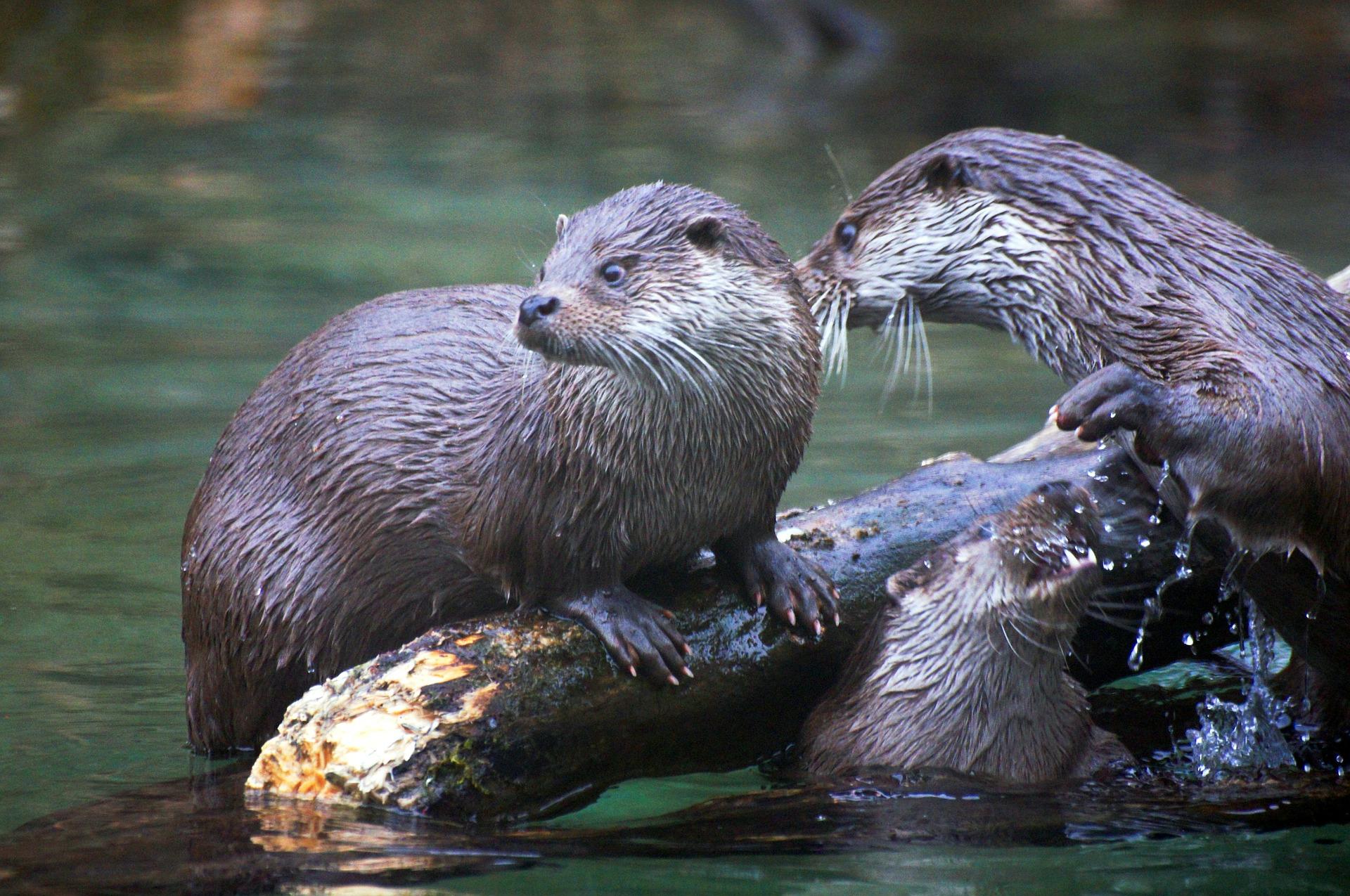 pixabay.com_.de-photosfischotter-otter-tiere-natur-50357